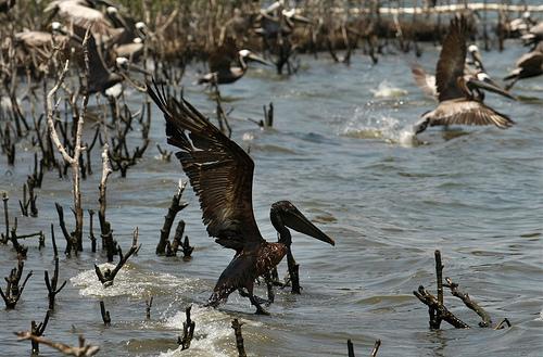 La marée noire en Louisianne et ses conséquences